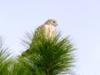 Hawk r